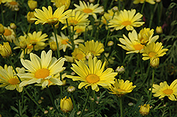 Butterfly Marguerite Daisy (Argyranthemum frutescens 'Butterfly') at Garden Treasures