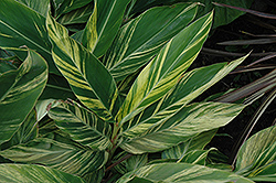 Variegated Shell Ginger (Alpinia zerumbet 'Variegata') at Garden Treasures