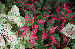 Party Time Alternanthera (Alternanthera ficoidea 'Party Time') at Garden Treasures