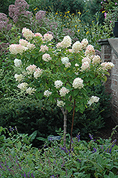Limelight Hydrangea (tree form) (Hydrangea paniculata 'Limelight (tree form)') at Garden Treasures