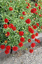 Red Plume Blanket Flower (Gaillardia pulchella 'Red Plume') at Garden Treasures