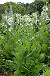 Woodland Tobacco (Nicotiana sylvestris) at Garden Treasures