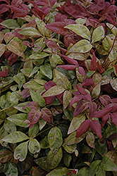 Blush Pink™ Nandina (Nandina domestica 'AKA') at Garden Treasures