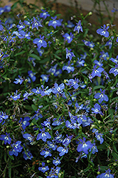 California Sky Blue Lobelia (Lobelia 'California Sky Blue') at Garden Treasures