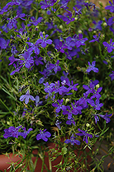 Deep Blue Star Lobelia (Lobelia 'Deep Blue Star') at Garden Treasures
