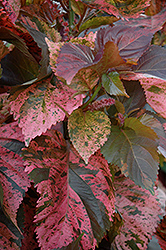 Beyond Paradise Copperleaf (Acalypha wilkesiana 'Beyond Paradise') at Garden Treasures