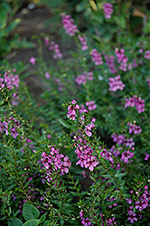 AngelMist® Dark Rose Angelonia (Angelonia angustifolia 'AngelMist Dark Rose') at Garden Treasures