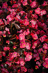 Bada Boom® Rose Begonia (Begonia 'Bada Boom Rose') at Garden Treasures