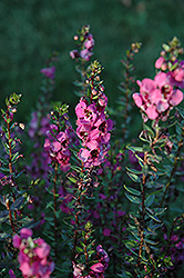 Angelina Dark Rose Angelonia (Angelonia angustifolia 'Angelina Dark Rose') at Garden Treasures