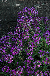 Clear Crystal Purple Shades Sweet Alyssum (Lobularia maritima 'Clear Crystal Purple Shades') at Garden Treasures