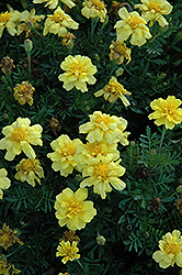 Janie Primrose Yellow Marigold (Tagetes patula 'Janie Primrose Yellow') at Garden Treasures