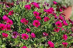 Cabaret® Rose Calibrachoa (Calibrachoa 'Cabaret Rose') at Garden Treasures