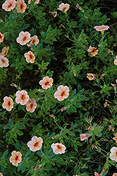 Superbells® Peach Calibrachoa (Calibrachoa 'Superbells Peach') at Garden Treasures