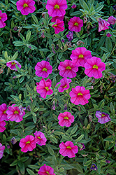 Aloha Hot Pink Calibrachoa (Calibrachoa 'Aloha Hot Pink') at Garden Treasures