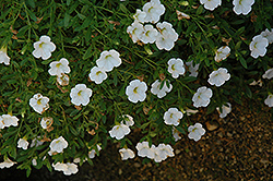 Superbells® Trailing White Calibrachoa (Calibrachoa 'Superbells Trailing White') at Garden Treasures