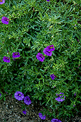 Superbells® Trailing Blue Calibrachoa (Calibrachoa 'Superbells Trailing Blue') at Garden Treasures