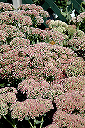 Autumn Fire Stonecrop (Sedum spectabile 'Autumn Fire') at Garden Treasures