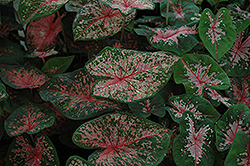 Pink Beauty Caladium (Caladium 'Pink Beauty') at Garden Treasures