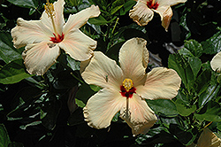 Single Peach Hibiscus (Hibiscus rosa-sinensis 'Single Peach') at Garden Treasures