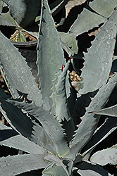Century Plant (Agave americana) at Garden Treasures