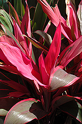 Hilo Rainbow Cordyline (Cordyline 'Hilo Rainbow') at Garden Treasures