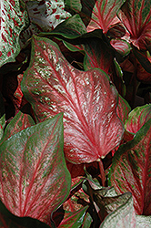 Pink Gem Caladium (Caladium 'Pink Gem') at Garden Treasures