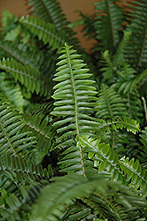 Australian Sword Fern (Nephrolepis obliterata) at Garden Treasures