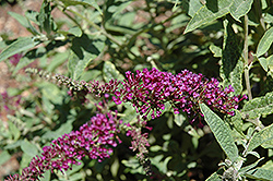 Buzz™ Purple Butterfly Bush (Buddleia davidii 'Buzz Purple') at Garden Treasures