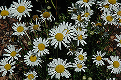 White Breeze Shasta Daisy (Leucanthemum x superbum 'White Breeze') at Garden Treasures