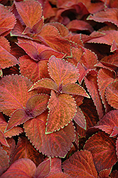 Wizard Sunset Coleus (Solenostemon scutellarioides 'Wizard Sunset') at Garden Treasures