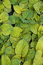 Wizard Pineapple Coleus (Solenostemon scutellarioides 'Wizard Pineapple') at Garden Treasures