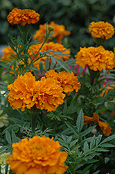 Cortez Orange Marigold (Tagetes erecta 'Cortez Orange') at Garden Treasures
