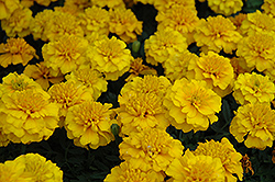 Janie Gold Marigold (Tagetes patula 'Janie Gold') at Garden Treasures