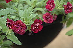 Superbells® Double Plum Calibrachoa (Calibrachoa 'Superbells Double Plum') at Garden Treasures