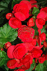 Solenia® Cherry Begonia (Begonia 'Solenia Cherry') at Garden Treasures