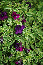 Surfinia® Baby Purple Variegata Petunia (Petunia 'Surfinia Baby Purple Variegata') at Garden Treasures