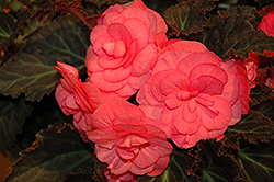 Nonstop® Mocca Pink Shades Begonia (Begonia 'Nonstop Mocca Pink Shades') at Garden Treasures