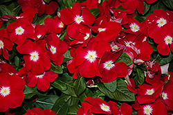 Sunstorm Red Halo Vinca (Catharanthus roseus 'Sunstorm Red Halo') at Garden Treasures