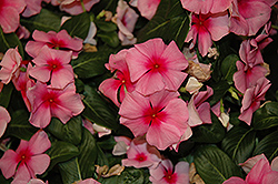Cora® Cascade Strawberry Vinca (Catharanthus roseus 'Cora Cascade Strawberry') at Garden Treasures