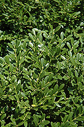 Franklin's Gem Boxwood (Buxus microphylla 'Franklin's Gem') at Garden Treasures