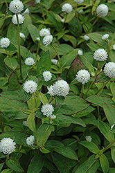 Audray White Gomphrena (Gomphrena 'Audray White') at Garden Treasures