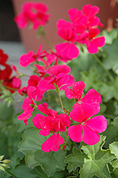 Caliente Rose Geranium (Pelargonium 'Caliente Rose') at Garden Treasures