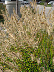 Hameln Dwarf Fountain Grass (Pennisetum alopecuroides 'Hameln') at Garden Treasures