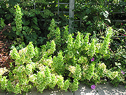 Bells Of Ireland (Moluccella laevis) at Garden Treasures