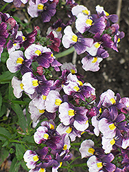Berries And Cream Sachet Nemesia (Nemesia 'Berries And Cream Sachet') at Garden Treasures
