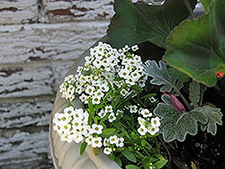 White Alyssum (Lobularia maritima 'Alba') at Garden Treasures