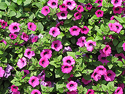 Surfinia® Baby Purple Petunia (Petunia 'Surfinia Baby Purple') at Garden Treasures
