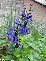 Black And Blue Anise Sage (Salvia guaranitica 'Black And Blue') at Garden Treasures