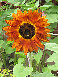 Red Sun Annual Sunflower (Helianthus annuus 'Red Sun') at Garden Treasures