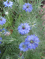 Love-In-A-Mist (Nigella sativa) at Garden Treasures